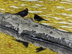 A pair of blackbirds court on a floating log
