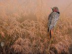 Flicker in wild grasses