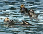 sea otters floating in the ocean
